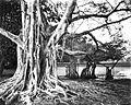 COLLECTIE TROPENMUSEUM Warangi-boom in het Park van Buitenzorg TMnr 60022037.jpg