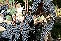 Cabernet Sauvignon grapes from Château Cos D'Estournel.jpg