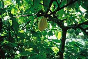 Young Cacao plantation
