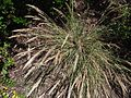 Calamagrostisfoliosa3.jpg