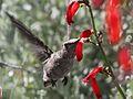 Calliope Hummingbird - Flickr - GregTheBusker.jpg