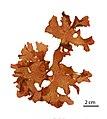 Callophyllis (AM AK295285-1).jpg