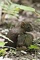 Callosciurus erythraeus thaiwanensis (30473587790).jpg