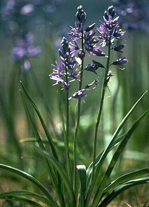Indigenous peoples of the Northwest Plateau - Indian camas, Camassia quamash