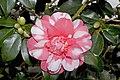 Camellia.japonica.cv.Chandlers.Elegance.7167.jpg