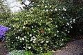 Camellia japonica 'Lady Vansittart' at RHS Garden Hyde Hall, Essex, England.jpg