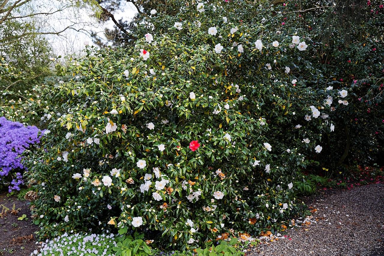 File Camellia Japonica Lady Vansittart At Rhs Garden Hyde Hall