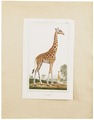 Camelopardalis giraffa - 1700-1880 - Print - Iconographia Zoologica - Special Collections University of Amsterdam - UBA01 IZ21600135.tif