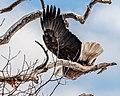 Camera Shy Eagle (31881825013).jpg