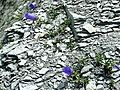 Campanula alpestris 001.jpg