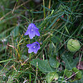 Campanule à feuilles rondes-Fleurs et feuilles-Pleney-20141015.jpg