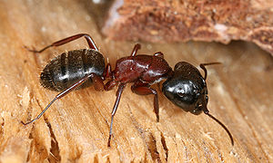 Description: This image shows a Carpenter ant ...