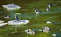Canada geese in algae-greened Wallkill River, Walden, NY.jpg