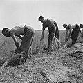 Canadese militairen helpen boeren. Oogsten, Bestanddeelnr 900-5480.jpg
