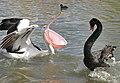 Canberra - Black Swan-Pelican+ (109473623).jpg