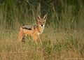 Canis mesomelas 1 (Martin Mecnarowski).jpg