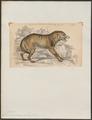 Canis mexicanus - 1833-1866 - Print - Iconographia Zoologica - Special Collections University of Amsterdam - UBA01 IZ22200389.tif