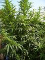 Cannabis sativa plant (18).jpg