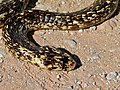 Cape Cobra (Naja nivea) found dead on the road (6883776978).jpg