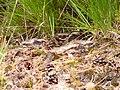Caprimulgus europaeus no.4 nightjar nachtschwalbe.jpg