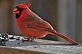 Cardinalis cardinalis.jpg