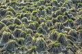 Carex appropinquata 01(js), Biebrza National Park (Poland).jpg
