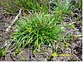Carex demissa plant (4).jpg