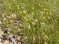 Carex douglasii (3877806896).jpg
