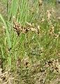 Carex praecox kz02.jpg