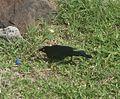 Carib Grackle.Quiscalus lugubris - Flickr - gailhampshire.jpg