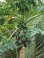 Carica papaya.jpg