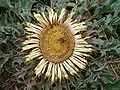 Carlina acanthifolia 0001.jpg