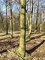 Carpinus betulus sl3.jpg