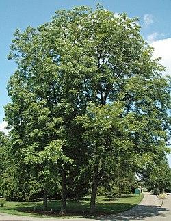 Carya illinoinensis (pecan tree) 1 (24790682337).jpg