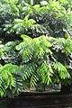 Castanospermum australe - Moreton Bay Chestnut - at Ooty 2014 (3).jpg