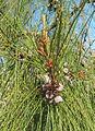 Casuarina equisetifolia - Cabanas de Tavira Portugal 03.JPG