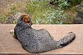 Catalina Island Fox (Urocyon littoralis catalinae) on table.jpg