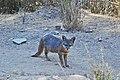 Catalina Island Fox (Urocyon littoralis catalinae) standing and looking.jpg