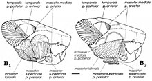 Two diagrams of a jaw and its muscles