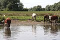 Cattle and horses at Isleham - geograph.org.uk - 1426066.jpg
