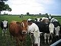 Cattle at Crabtree Farm - geograph.org.uk - 180701.jpg