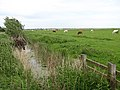 Cattle in the Halvergate marshes - geograph.org.uk - 821522.jpg