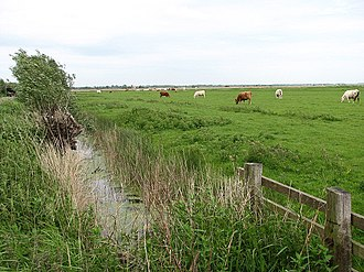 Halvergate Marshes - Image: Cattle in the Halvergate marshes geograph.org.uk 821522