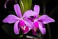 Cattleya violacea (Kunth) Lindl., Gard. Chron. 1842 472 (1842) (42853347802).jpg