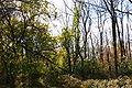 Celastrus orbiculatus in a PA woodland.JPG