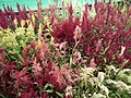 Celosia wool flower from Lalbagh flower show Aug 2013 8463.JPG