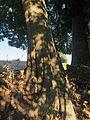 Celtis australis 20140806.jpg