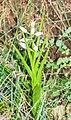 Cephalanthera longifolia in Lozere (1).jpg