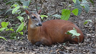 Bay duiker species of mammal