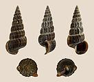 Cerithideopsis californica 01.JPG